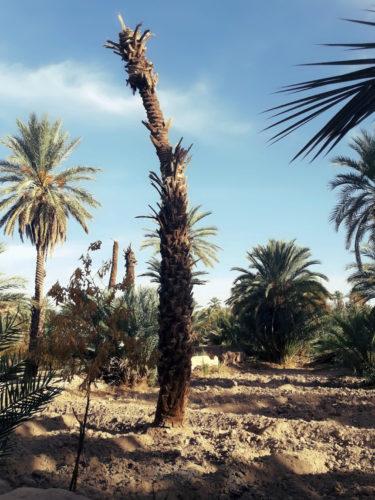 Berbera Design- oasis avec palmiers sud du Maroc